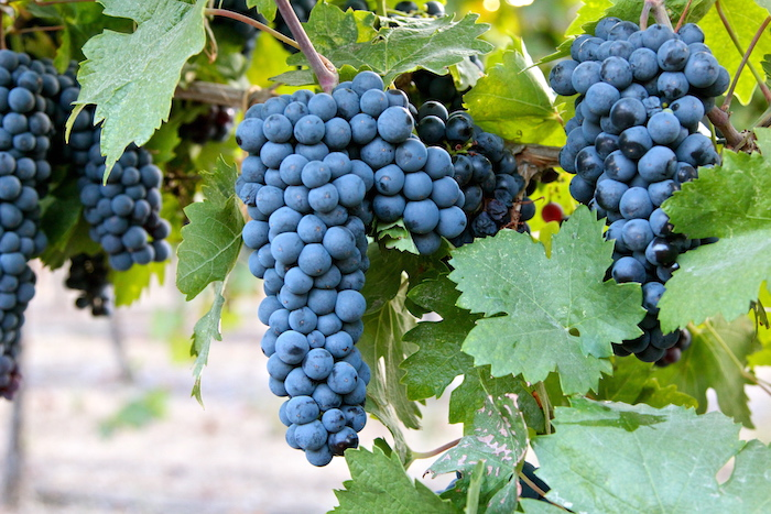 rượu-vang-puglia 1